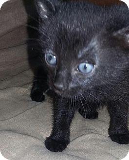 Domestic Shorthair Kitten for adoption in Smyrna, Georgia - Shyla