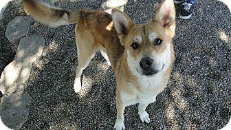 Shepherd (Unknown Type)/Husky Mix Dog for adoption in Ripon, California - Balto