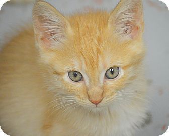 Domestic Shorthair Kitten for adoption in San Leon, Texas - Velveeta