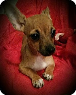 Chihuahua Mix Puppy for adoption in San Antonio, Texas - Maya