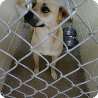 Labrador Retriever/Boxer Mix Dog for adoption in Lucknow, Ontario - Willow