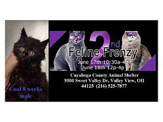 Maine Coon Kitten for adoption in Northfield, Ohio - COAL
