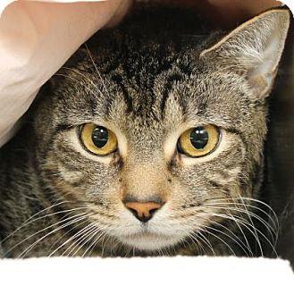 Domestic Shorthair Cat for adoption in Richmond, Virginia - Boss