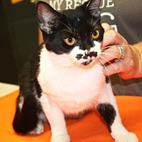 Adopt A Pet :: Patches - Cottageville, WV
