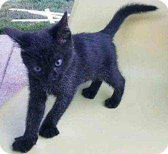 Domestic Shorthair Kitten for adoption in Alamo, California - Shadow