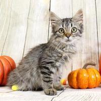 Adopt A Pet :: Madison - Harrisonburg, VA