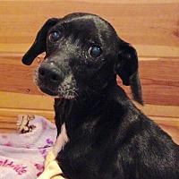 Adopt A Pet :: Poppie - Spartanburg, SC