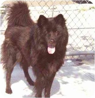 Belgian Shepherd/Chow Chow Mix Dog for adoption in New York, New York - Sheba