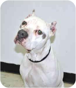 American Pit Bull Terrier Dog for adoption in Port Washington, New York - Linus