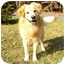 Photo 1 - Golden Retriever/Chow Chow Mix Dog for adoption in Mocksville, North Carolina - Casey