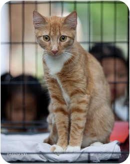 Domestic Shorthair Cat for adoption in St. Louis, Missouri - Kimi