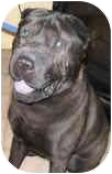 Shar Pei Dog for adoption in Bethesda, Maryland - Pops