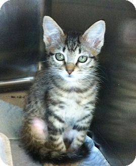 Domestic Shorthair Kitten for adoption in Hickory Creek, Texas - Annie
