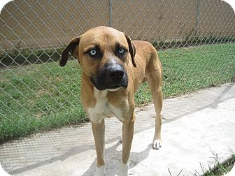 Boxer/Mastiff Mix Dog for adoption in San Antonio, Texas - Ranger