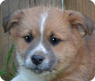 Dachshund/Terrier (Unknown Type, Small) Mix Puppy for adoption in Hagerstown, Maryland - Baron