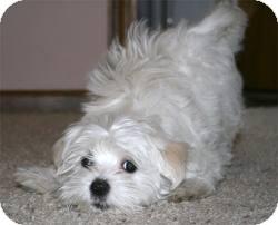 Maltese Mix Dog for adoption in Boulder, Colorado - Joshua