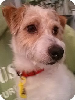 Dachshund/Jack Russell Terrier Mix Dog for adoption in Chicago, Illinois - Thunder