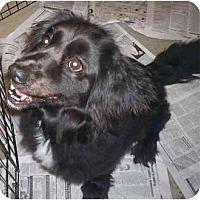 Adopt A Pet :: Rommie - Richmond, VA