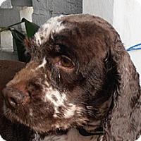 Adopt A Pet :: Jackson Brown - Sugarland, TX