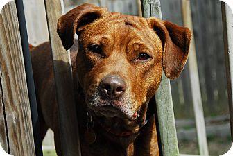 Labrador Retriever/Chesapeake Bay Retriever Mix Dog for adoption in Nashville, Tennessee - JUJU
