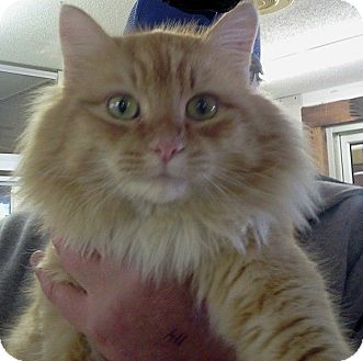Domestic Longhair Cat for adoption in tama, Iowa - Sully