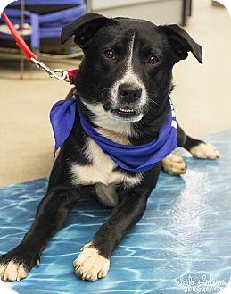 Border Collie/Labrador Retriever Mix Dog for adoption in Charlotte, North Carolina - Lexi