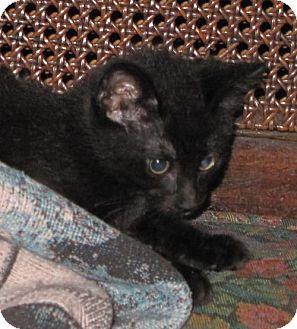 Domestic Mediumhair Cat for adoption in Gonzales, Texas - Maximus