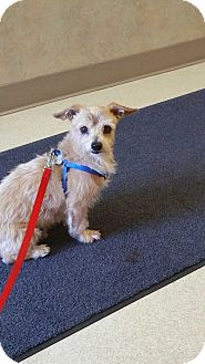 Terrier (Unknown Type, Small)/Dachshund Mix Dog for adoption in West Linn, Oregon - Rocky