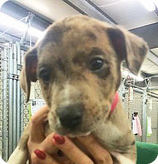 Catahoula Leopard Dog Mix Puppy for adoption in Spokane, Washington - Mercury