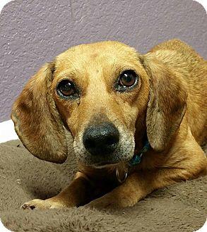 Dachshund/Beagle Mix Dog for adoption in Lisbon, Ohio - Ken Dahl- Adopted!