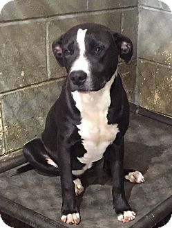 Pit Bull Terrier/Labrador Retriever Mix Dog for adoption in North Brunswick, New Jersey - Aliyah