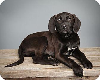 Labrador Retriever/Beagle Mix Puppy for adoption in Greenfield, Wisconsin - Katniss