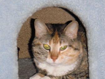 Calico Cat for adoption in Baton Rouge, Louisiana - Callie