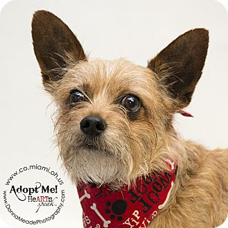 Terrier (Unknown Type, Small) Mix Dog for adoption in Troy, Ohio - Lenny