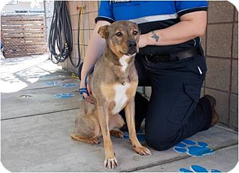 Australian Cattle Dog Mix Dog for adoption in Copperas Cove, Texas - Hero