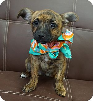 Glen of Imaal Terrier/Boston Terrier Mix Puppy for adoption in Boerne, Texas - Beau
