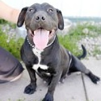 American Pit Bull Terrier Mix Dog for adoption in High River, Alberta - Cher