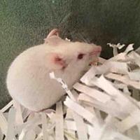 Adopt A Pet :: GALADRIEL - Urbana, IL