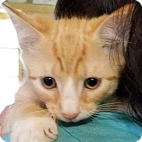 Domestic Shorthair Kitten for adoption in Wantagh, New York - Ricky