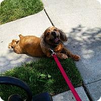 Cocker Spaniel Mix Dog for adoption in Guttenberg, New Jersey - Marlee