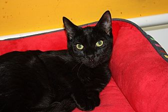 Domestic Shorthair Kitten for adoption in Little Falls, New Jersey - Whinny (LE)