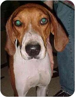 Treeing Walker Coonhound Dog for adoption in North Judson, Indiana - Eureka