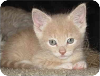 Domestic Shorthair Kitten for adoption in Davis, California - Cheeto