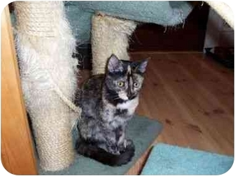 Domestic Shorthair Cat for adoption in North Plainfield, New Jersey - Abby