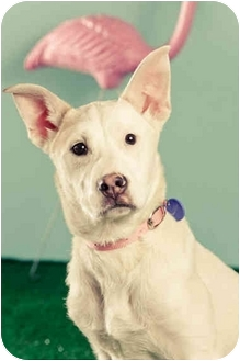 Pit Bull Terrier Mix Puppy for adoption in Portland, Oregon - Emma