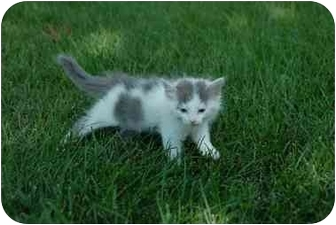 Russian Blue Kitten for adoption in Naperville, Illinois - Princess-ADOPTED