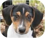 Rat Terrier Mix Puppy for adoption in Dallas, Texas - Apollo
