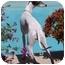 Photo 2 - Italian Greyhound Dog for adoption in Argyle, Texas - Lacey in Sugarland