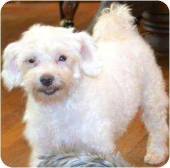 Maltese Dog for adoption in Greensboro, North Carolina - Tigger