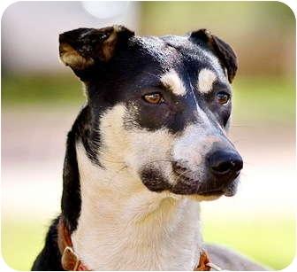 Terrier (Unknown Type, Small) Mix Puppy for adoption in Bulverde, Texas - Siesta